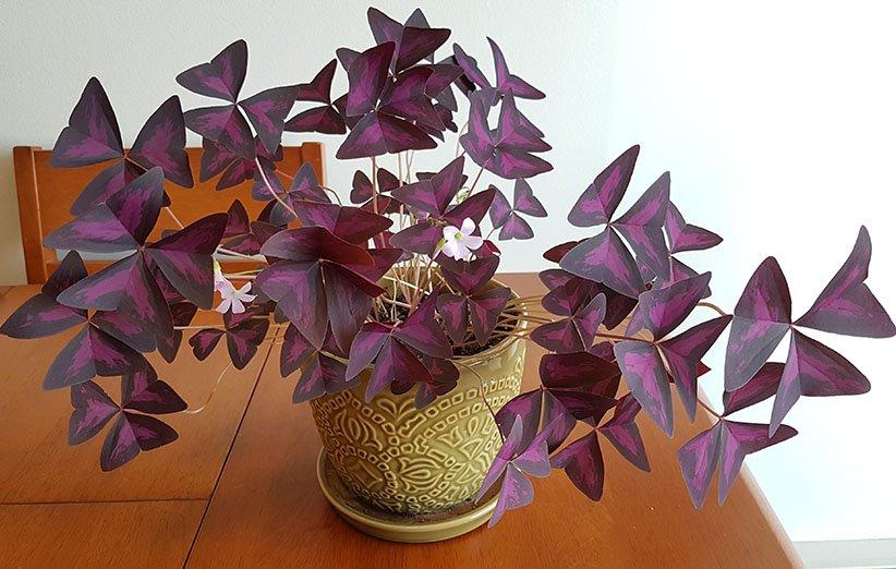 اگزالیس از زیباترین گلهای آپارتمانی